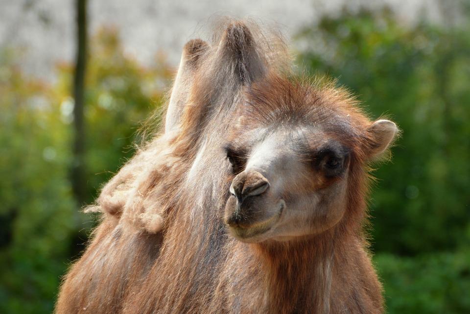 camel-824895_960_720