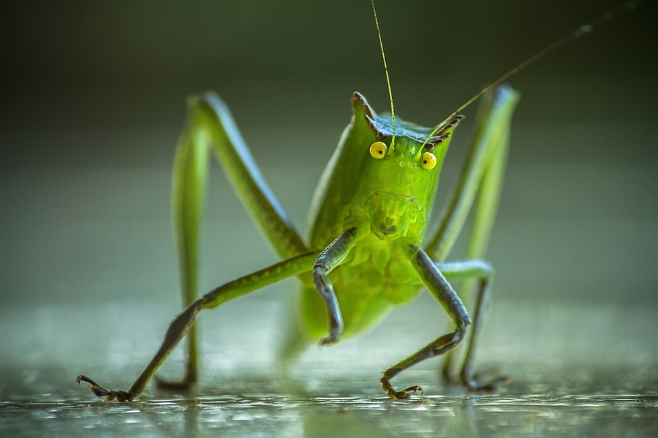 cricket-1345065_960_720