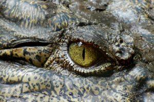 crocodile-630233_960_720