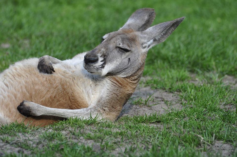 kangaroo-1995843_960_720