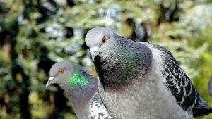 pigeons-2247476_960_720