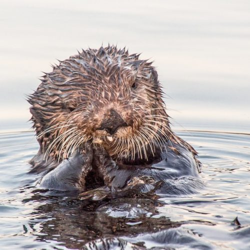 Urban Otters are Booming in Cork City