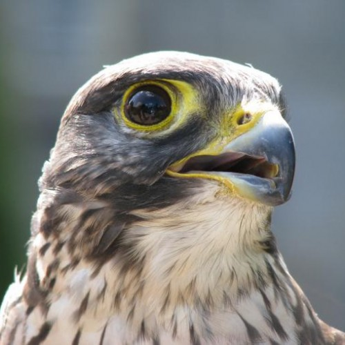 FANCY SOME FALCONRY?