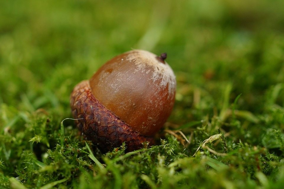 acorn-990846_960_720