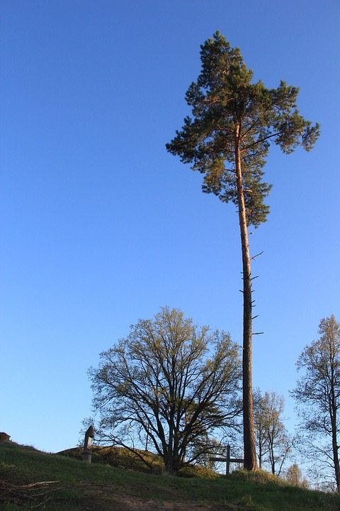 pine-tree-238791_960_720