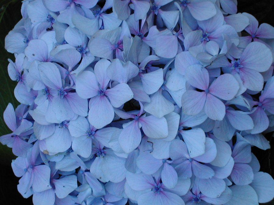 hydrangea_flower_blue_28521_h