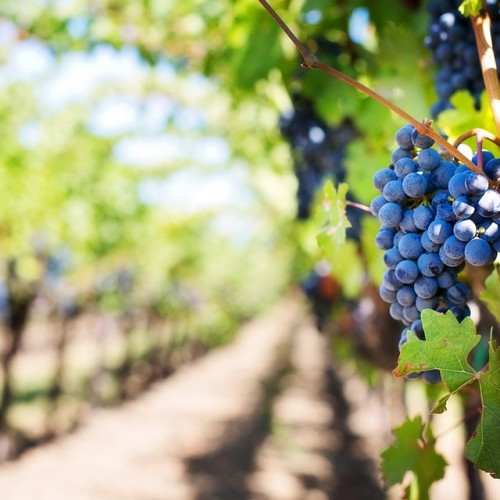 Global Warming Will Push Vineyards Into Cooler Regions. Irish Wines, Anyone?