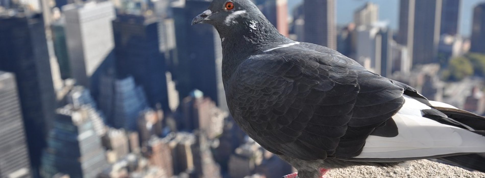 Fancypants City Birds are Smarter than Country Birds