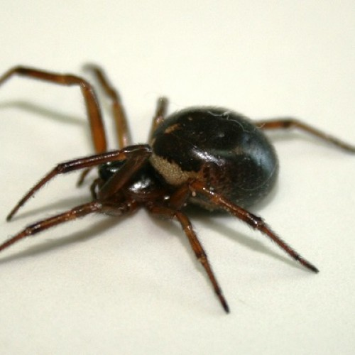 Gross Irish Spider Could Cure Cancer