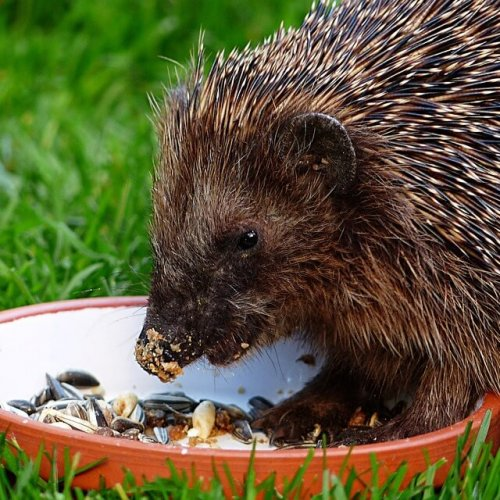 Urban Hedgehogs – More at Home in the City Than you Thought