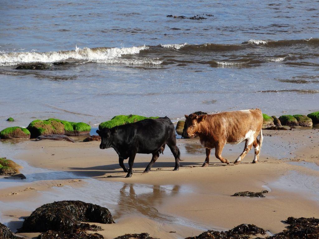cows-1383610_1280