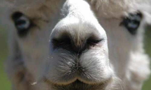 Alpacas Are Now All The Rage on Irish Farms