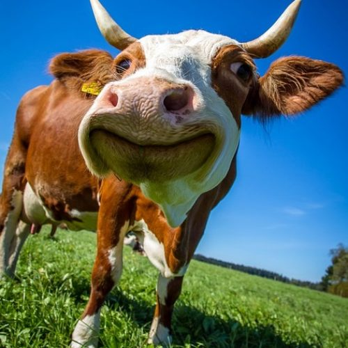 How to Keep Cows Happy