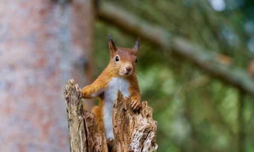 Pine Martens Can Be Used to Control Invasive Grey Squirrels