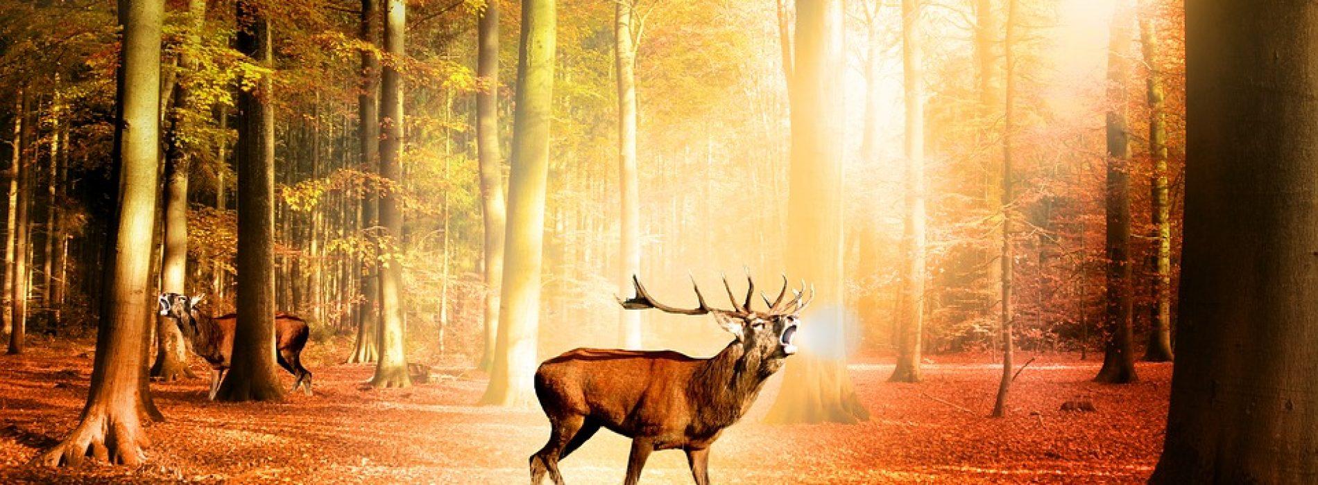 The Hunt for Deer in Ireland