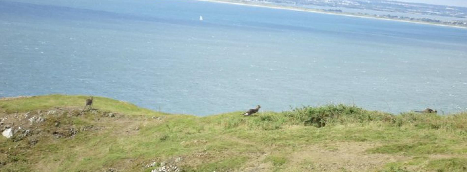 The Wild Wallabies of Ireland