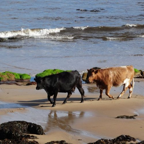 Adding Seaweed to Animal Feed Cuts Methane by 70%