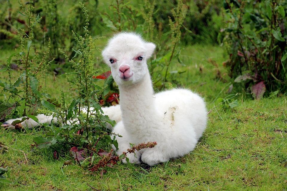 alpaca-1531980_960_720