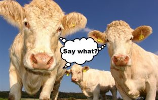 3 cows with 'say what' in speech bubble