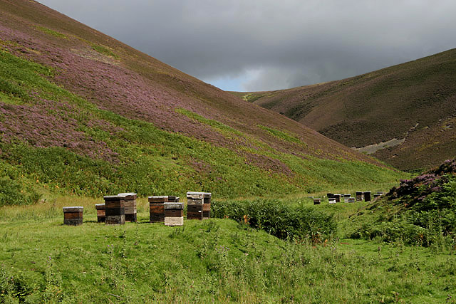 heather growing on a hill and beehives