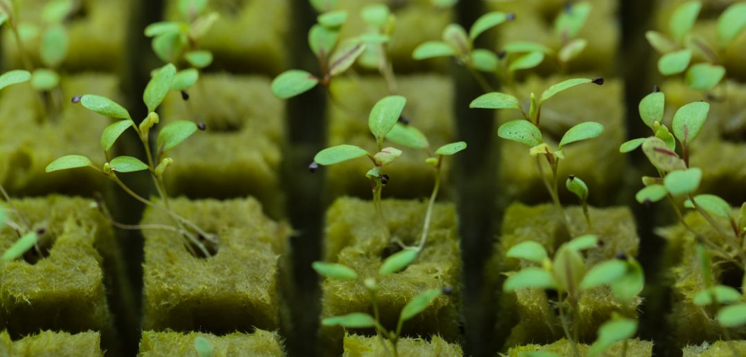 hydroponically growing plants