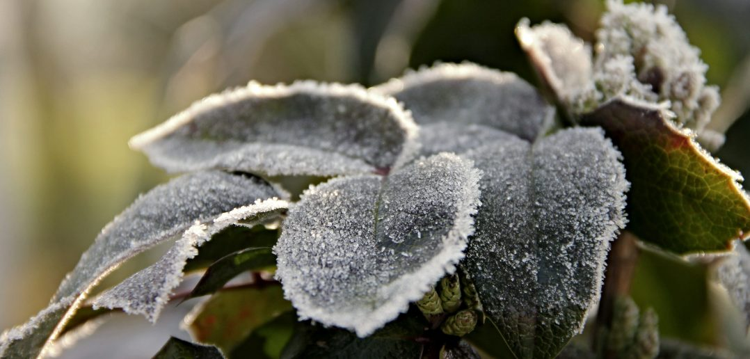plant covered in frost