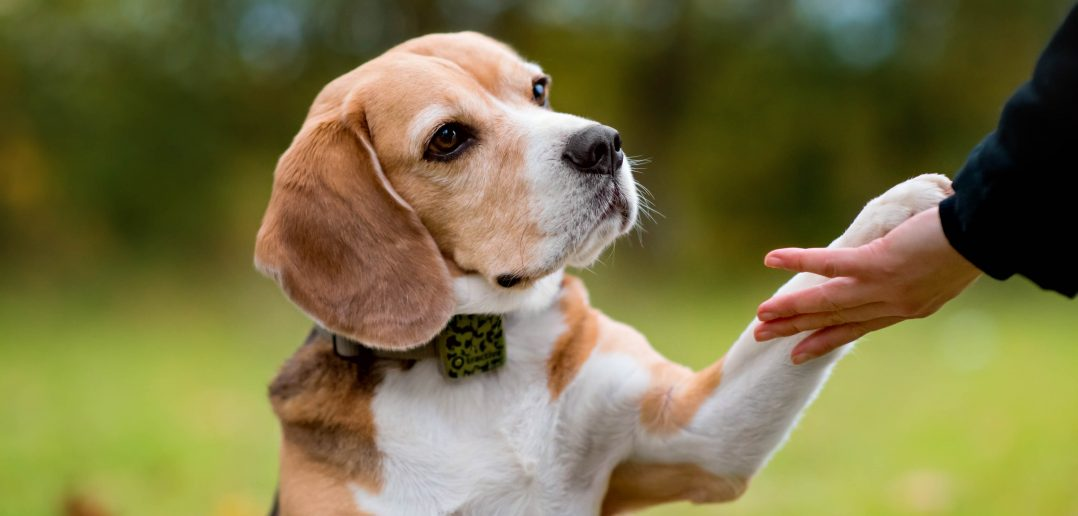 dog giving the paw