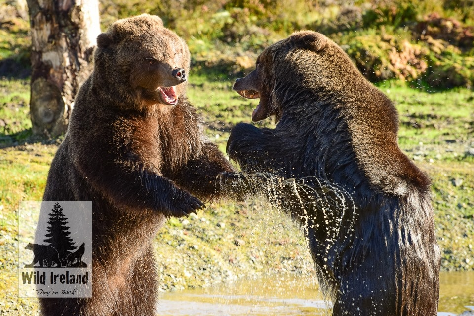 2 bears at Wild Ireland standing and fighting