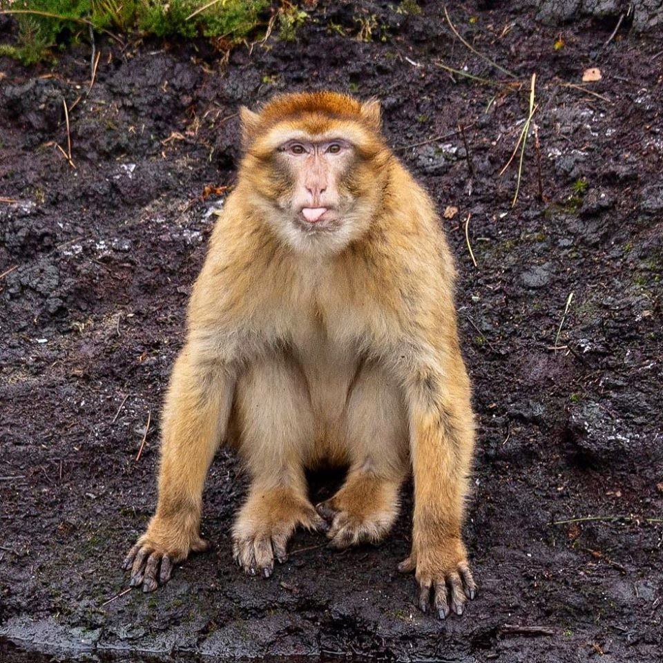 one of the barbary macaque monkeys at wild ireland