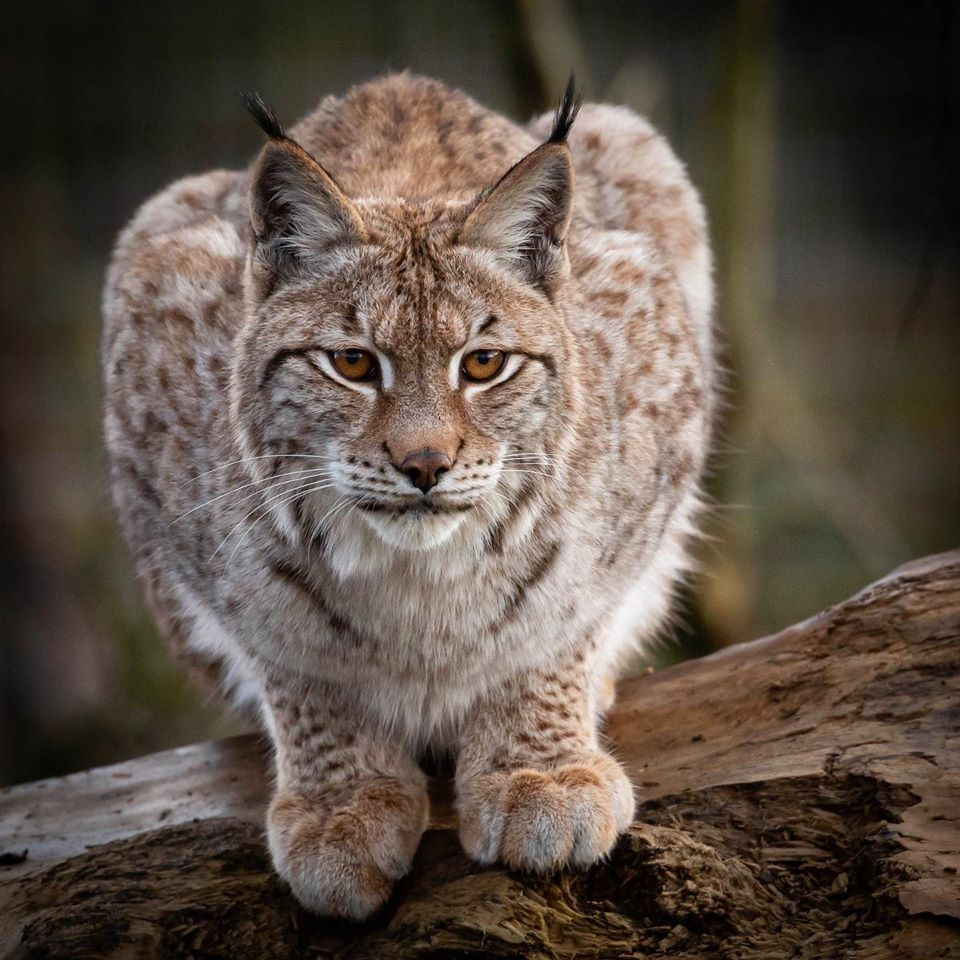 a lynx at wild ireland crouches on a branch ready to jump