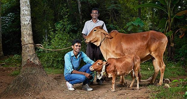world's shortest cow beside a regular cow