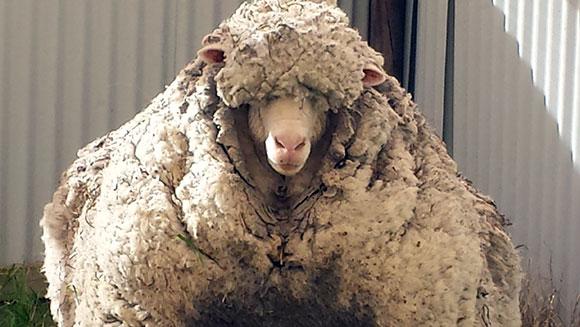Chris the world's wooliest sheep