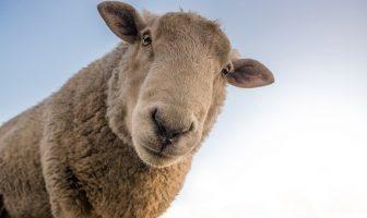 sheep looking curious