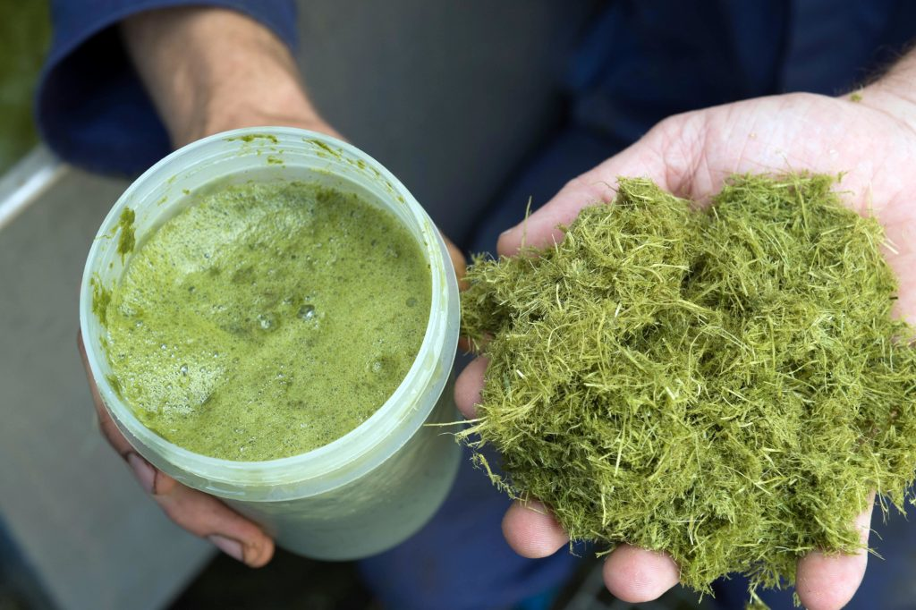 Press cake and juice is produced from the fresh grass as part of a circular bioeconomy